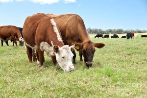 beef-cattle-grazing-in-pasture-inga-spence-and-photo-researchers-