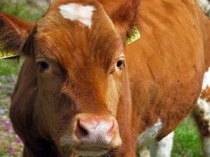 cow's nose closeup