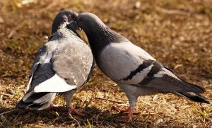 Budidaya Burung Merpati (Columba livia )