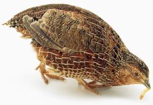 Budidaya Burung Puyuh (Coturnix coturnik)