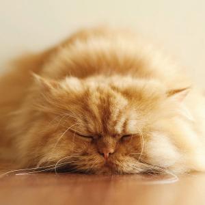 Budidaya Kucing (Felis catus) Persia,  Budidaya Dan Perawatan