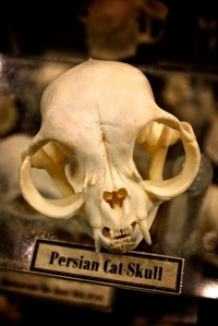 Skull_of_a_Persian_cat