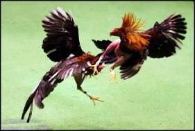 ayam tarung