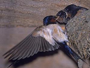 burung_walet
