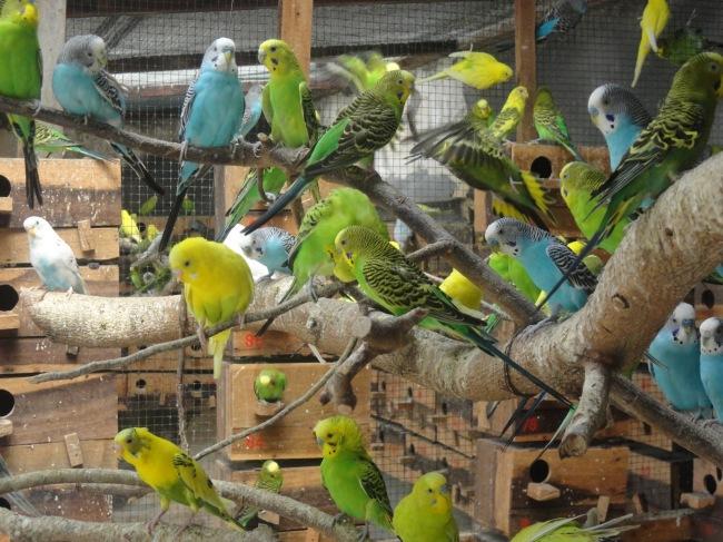 Budidaya Burung Parkit (Melopsittacus undulatus)