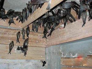 Sarang-burung-walet