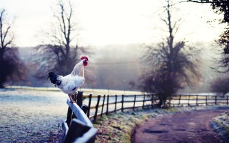 nature-rooster-fence-road-hd-wallpaper