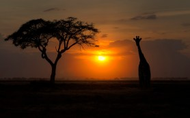 sunset-giraffe-tree-photo-hd-wallpaper