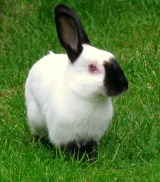 55430-burton-jane-blue-dutch-rabbit-and-four-3-week-babies-and-black-and-white-kitten