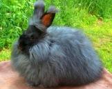 81d92-angora-rabbit3