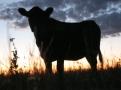 budidaya-ternak-sapi