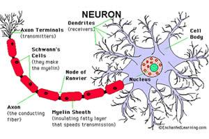 sistem-saraf-manusia