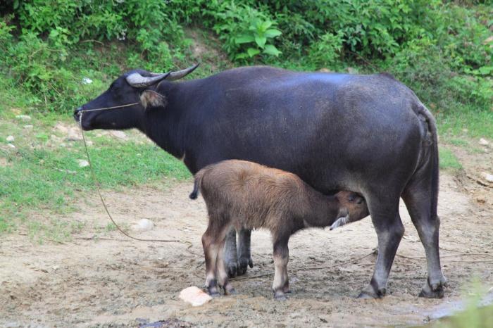 Water_buffaloes_in_Wuyishan_Wufu_2012.08.24_15-46-30