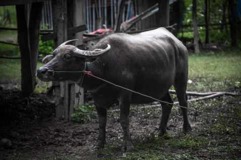 buffalo-1540254