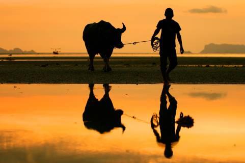 thailand-koh-samui-strand-met-buffel