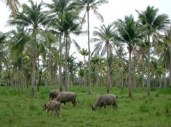 Thailand-Phuket-Büffel-an-der-Strasse-03